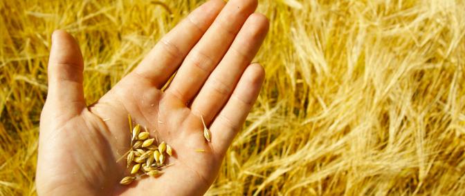 Importance of Wheat