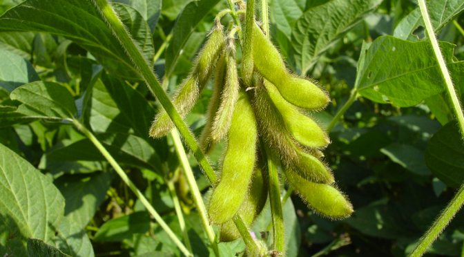 7 Health Benefits of Soybeans