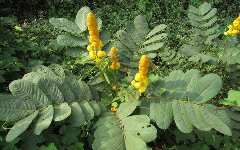 ringworm-bush
